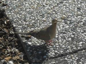 Dove building a nest